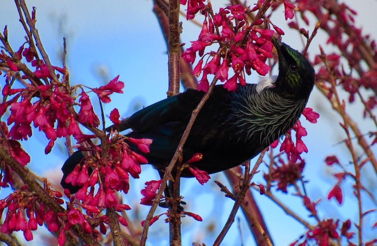 A Tui feeding on Spring blossom, Raetihi, New Zealand