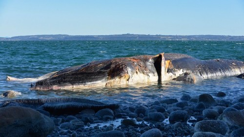 Man 'Surfs' Whale Carcass Surrounded by Sharks