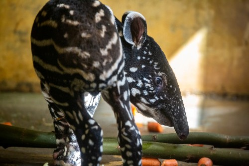Good things come in threes! Tapir gives birth to third baby at Belgian zoo