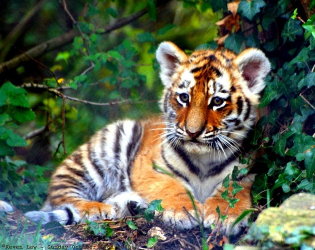 Tiger - Magazine cover