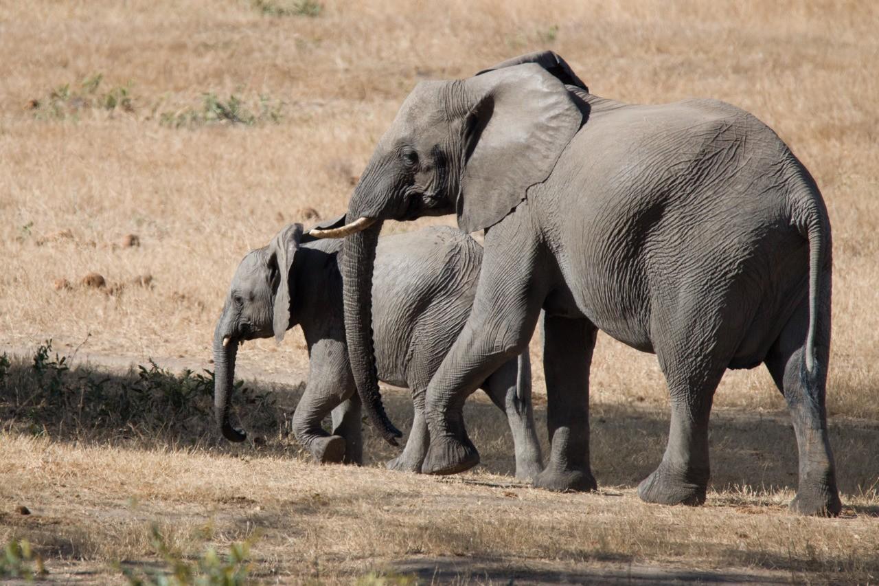 Elephants heading towards the watering hole.