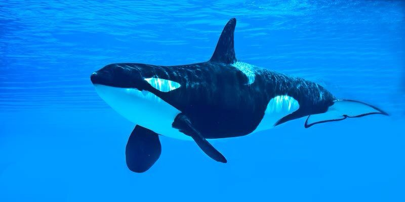 Orca whales are a species of dolphin. They eat penguins and seals. You usually find them in Antarctica but you can find them in other places too. They can also kill a shark. Did you know that baby calf stays with mother it's whole life . They are also in acting shows in USA.