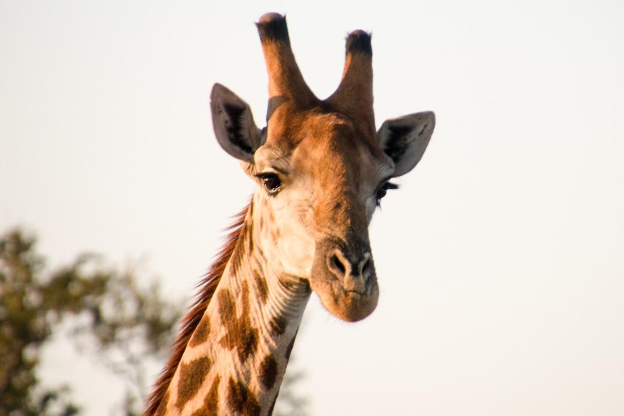 What a beautiful giraffe.