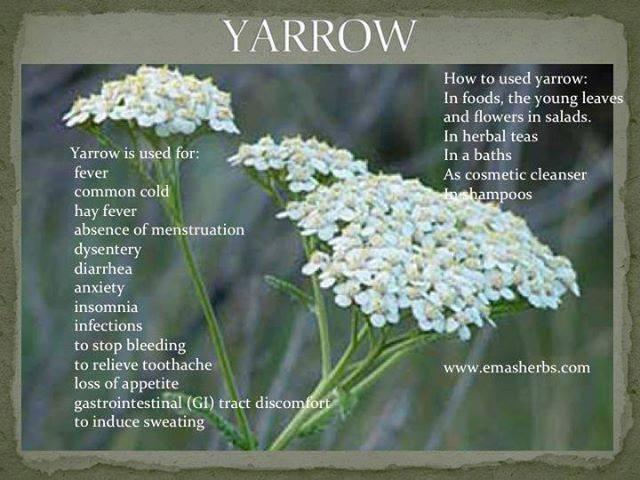 Benefits of Yarrow