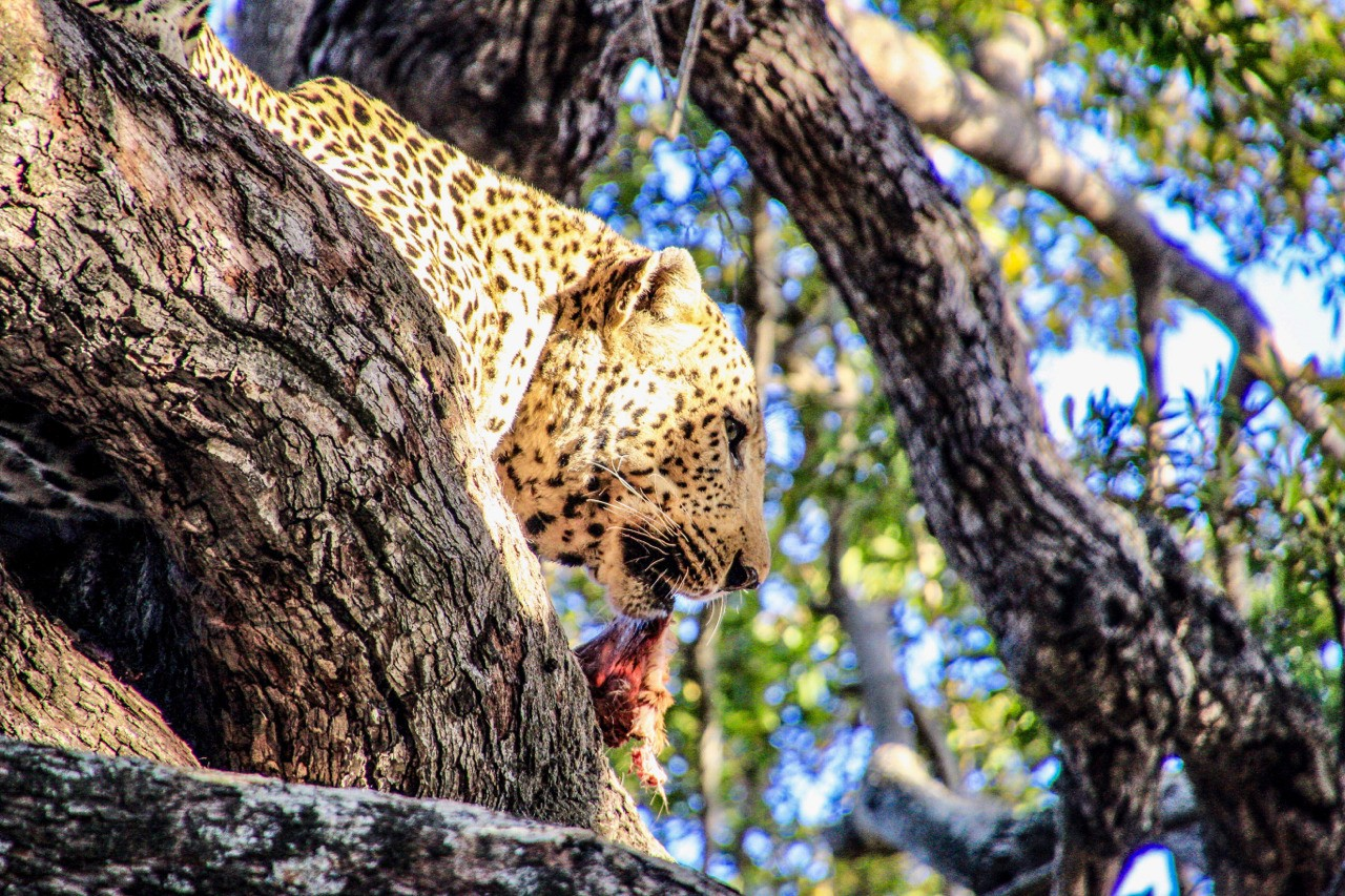 Leopard with its kill. Elephant Plains Game Reserve South Africa.