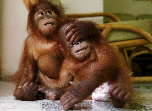 Orangutan numbers drop as much as 30% in Malaysian palm oil estate forests - WWF
