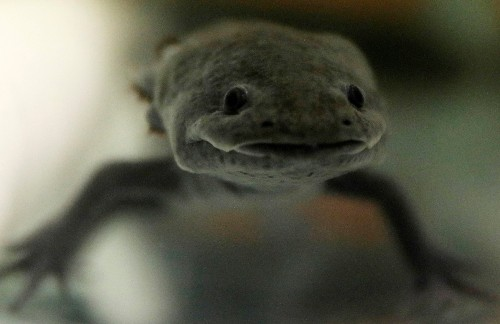 Mexico's axolotl, a cartoon hero and genetic marvel, fights for survival