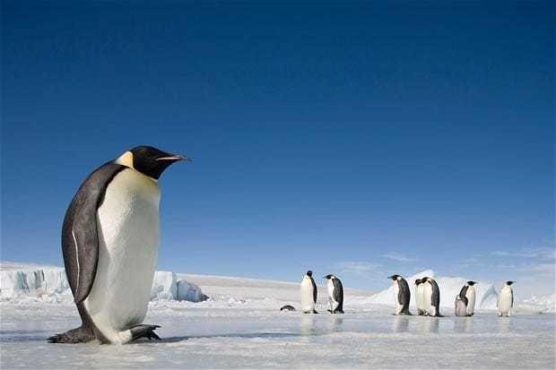 Emperor Penguins are now endangered, warn biologists