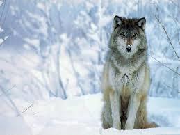 El animal mas bonito del mundo para mi es el LOBO