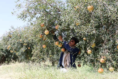 Humble pomegranate seed provides clue to how Yemen's war fuels hunger
