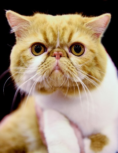Portraits from the Merseyside Cat Show in the UK