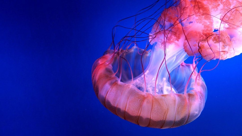The Stinging Jellyfish: What Is In Their Bite?