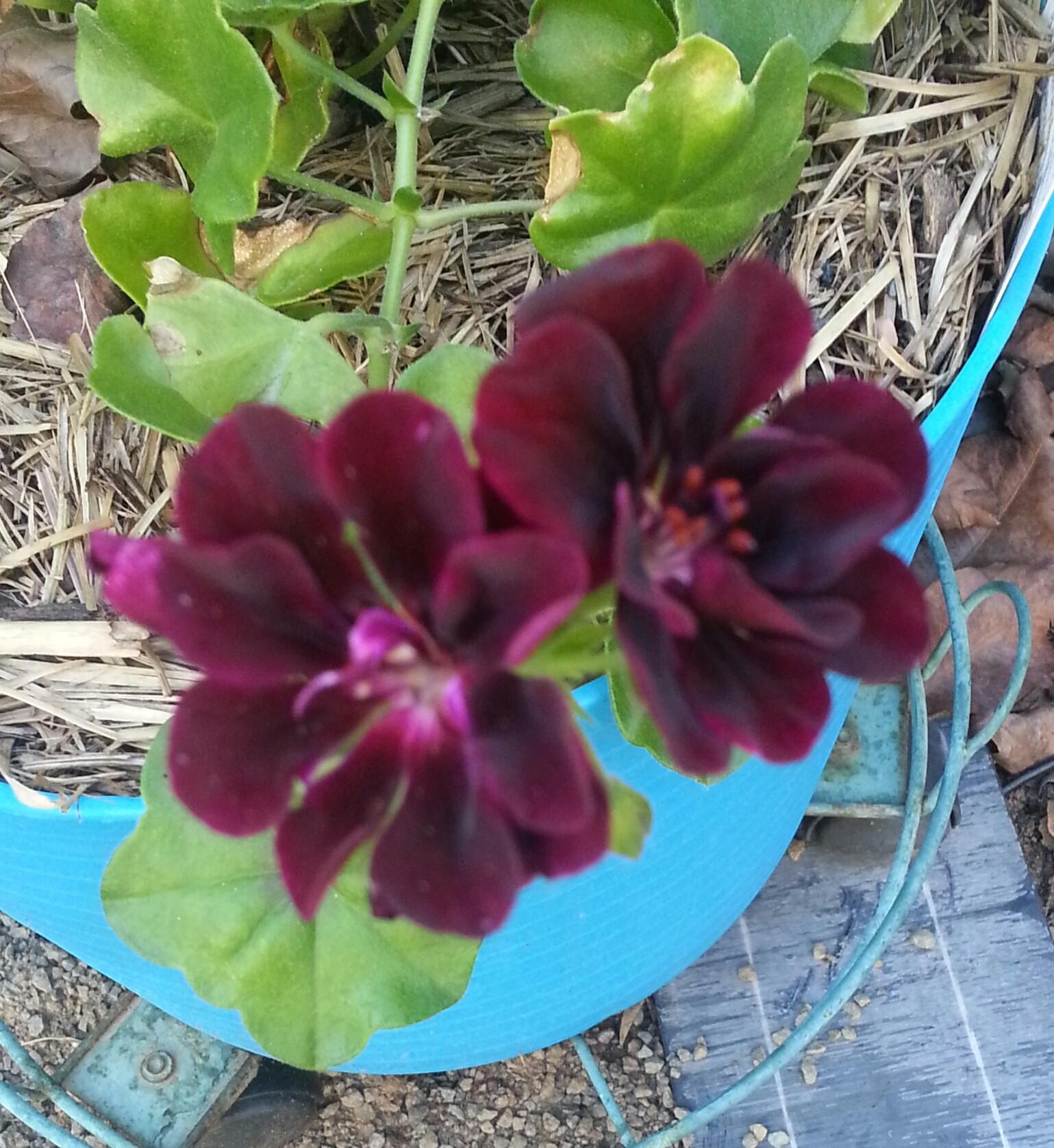 Pelargonium/Geranium lovely deep red