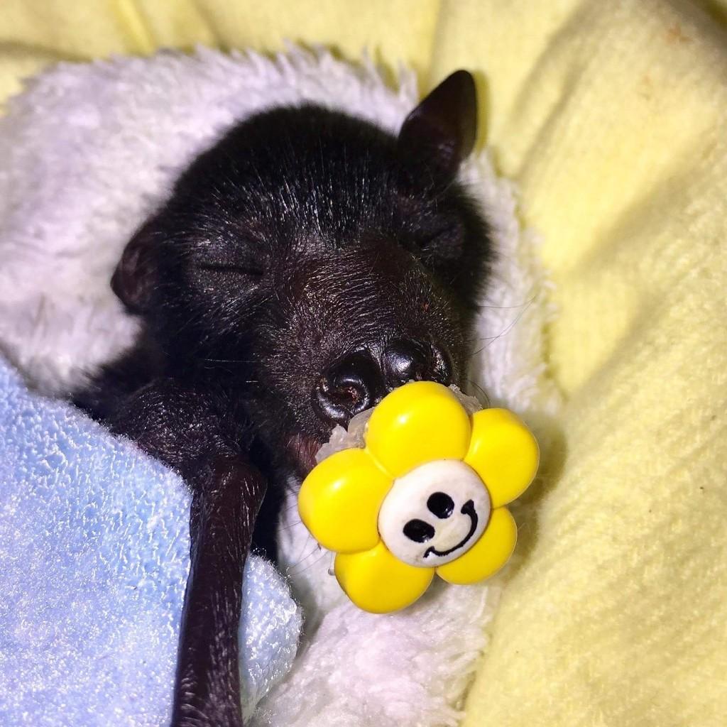 REHAB 2015 Megabat, Flying fox, Fruit bat, Bats N Wildlife - cover
