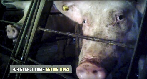 Undercover video shows pig abuse but also common practices