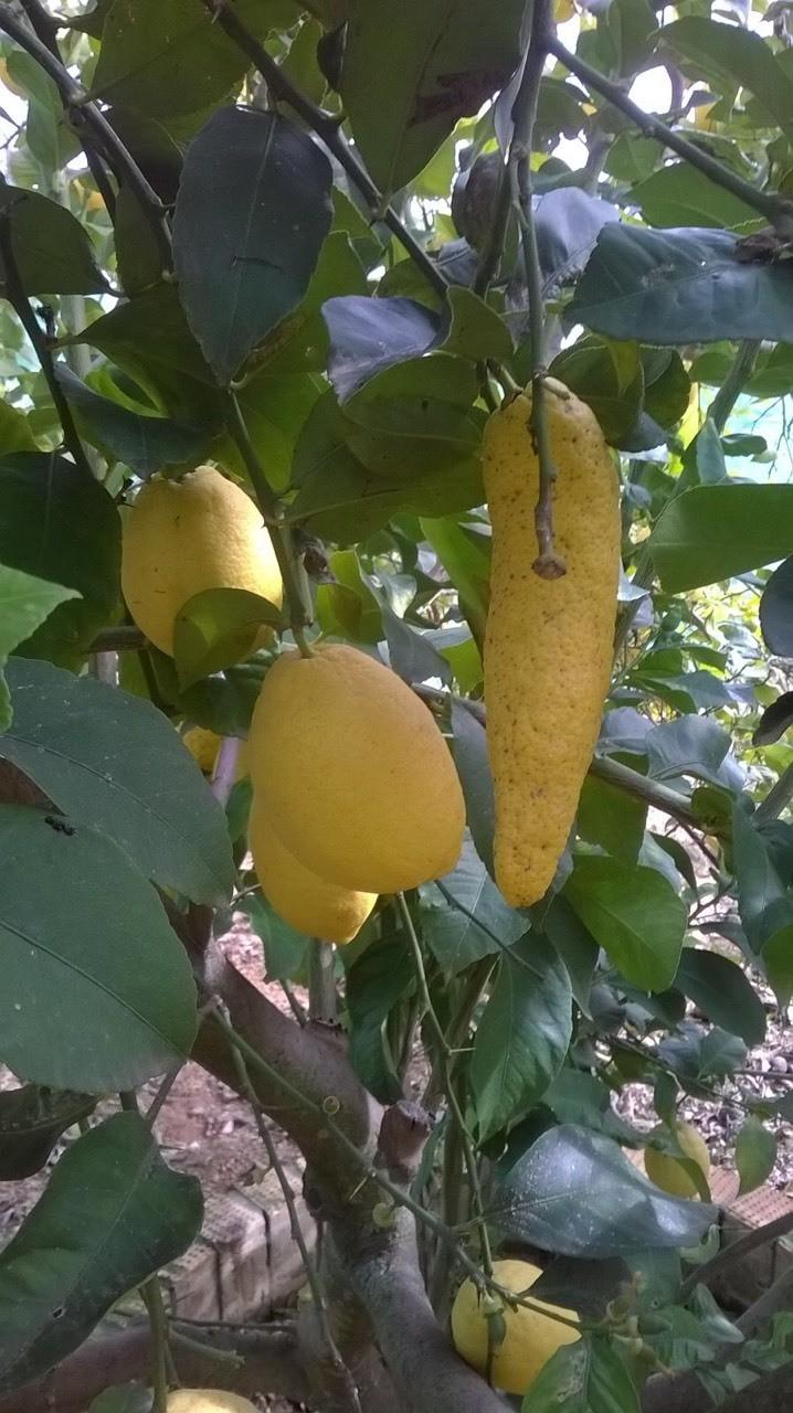 Limon deformado