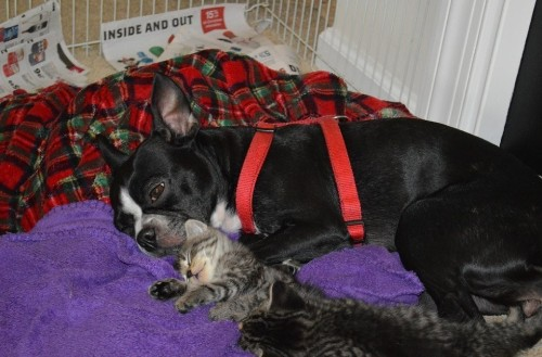 Boston Terrier Nurses Orphaned Kittens, Warms Our Cold Hearts