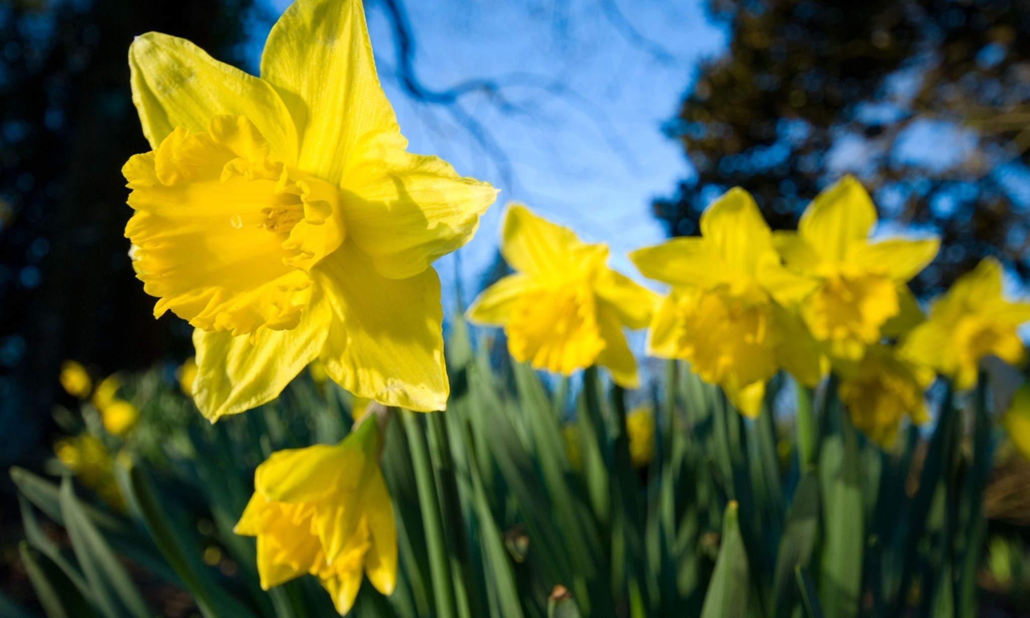Keep daffodils away from food, supermarkets told