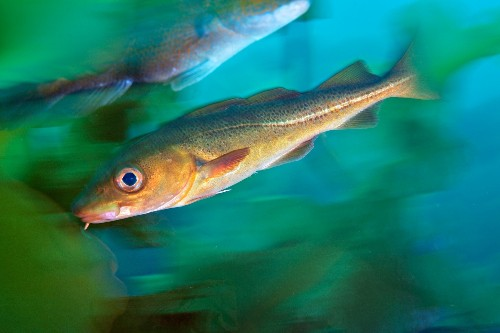 We're Killing the Oldest Fish in the Sea