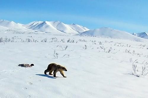 Russia's stray polar bear taken back to the wild
