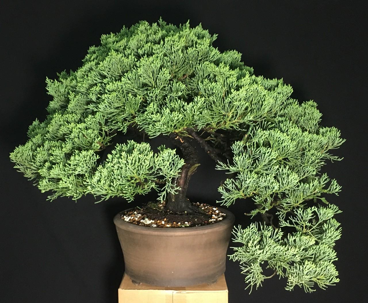 Juniper parsoni
