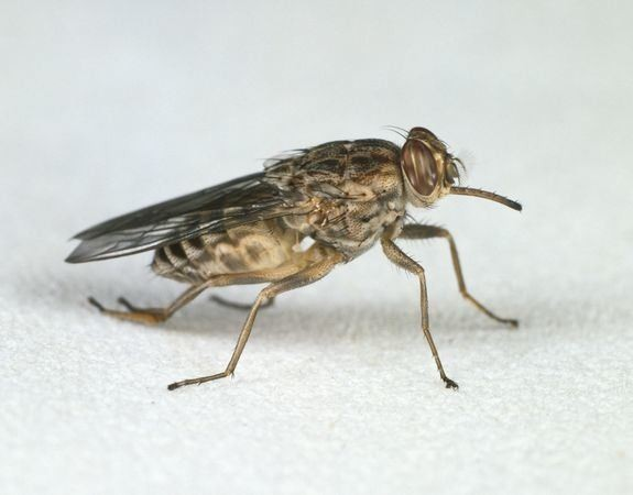 Sequencing Tsetse Fly Genome Reveals Surprises That May Save Lives