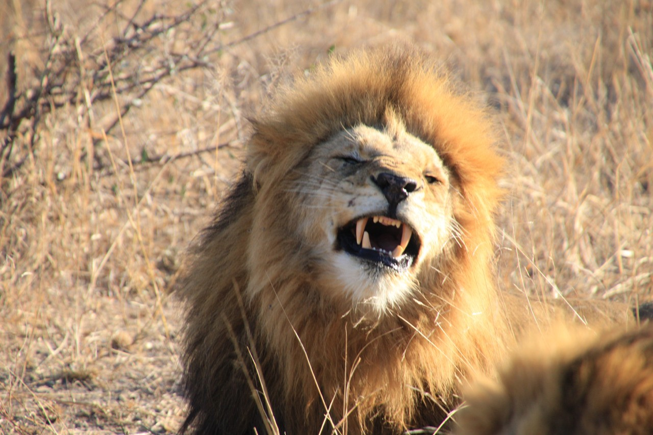 Lion showing how clean his teeth are.