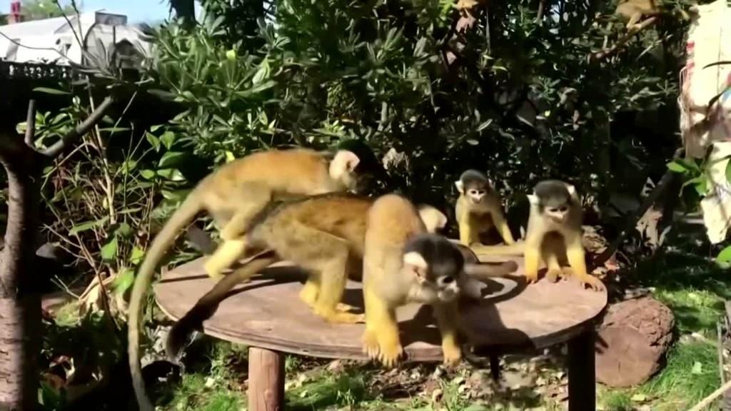 London Zoo squirrel monkeys enjoy icy treats