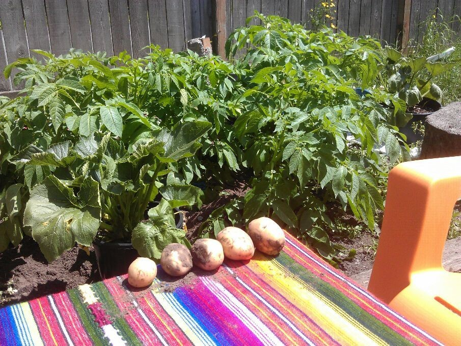 Potatoes from our garden! Best fathers day present for a Peruvian like me