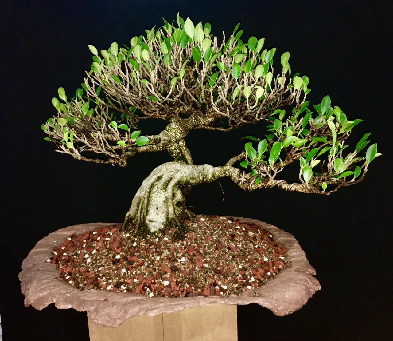 Ficus microcarpa var. tigerbark