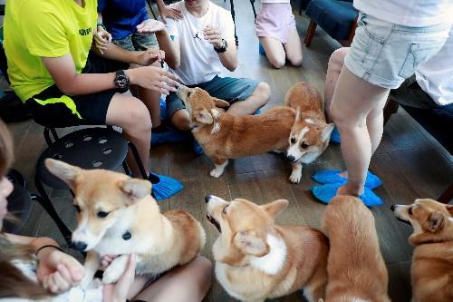 Cuteness overload: Corgis are king at this Bangkok cafe
