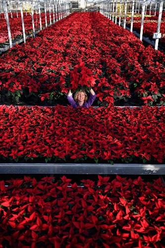 Prepping the Poinsettias for Christmas: Pictures