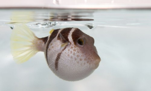 Pufferfish Don't Hold Their Breaths To Stay Puffed, Scientists Find