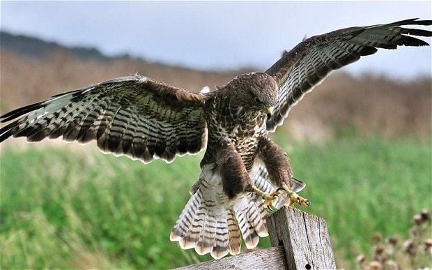 Landowners face losing licences even if not convicted of bird of prey poisonings