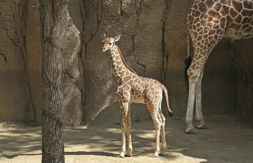Dallas Zoo giraffe named after Cowboys' Jason Witten dies