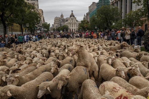 The Annual Sheep Invasion in Madrid: Pictures