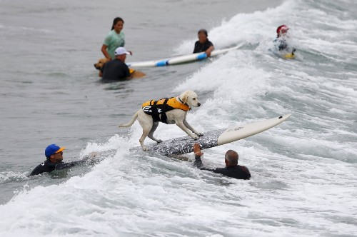 Dog Surfing in California: Photos