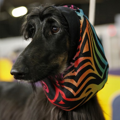 Photo Gallery: Westminster Dog Show
