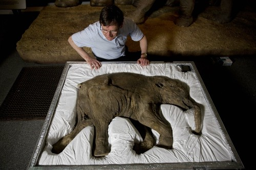 Woolly Mammoths in Pictures