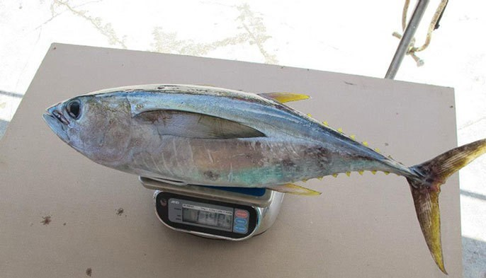Why your tuna could have 36 times more pollutants than others