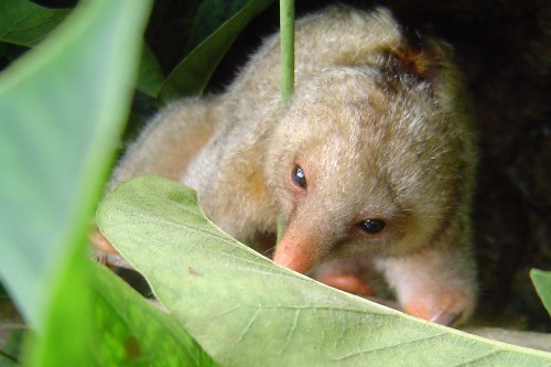 Six New Tiny Anteater Species Found—Hiding in Plain Sight