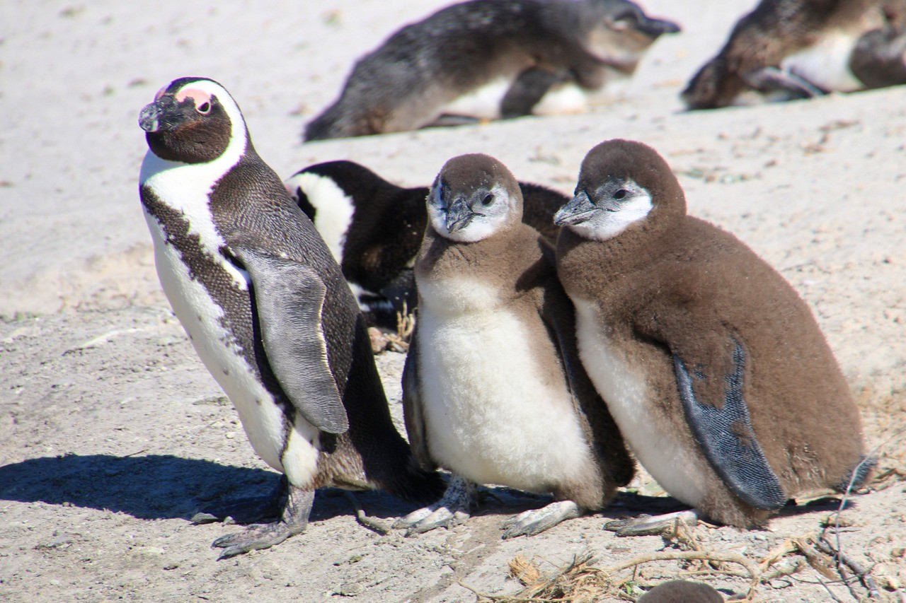 Penguin family at Boulders Beach, South Africa.