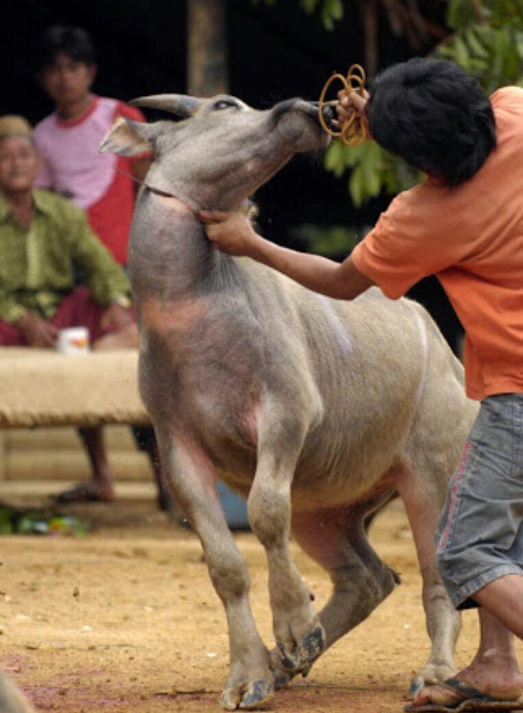 sacrificing buffaloe in toraja