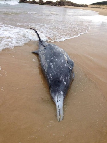 Incredibly Rare 'Beaked Whale' Washes Ashore In Australia