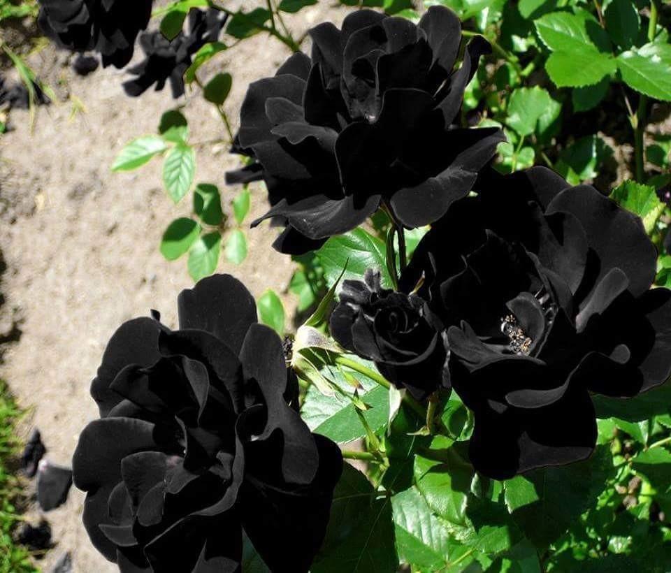 Black roses (sadece urfa halfeti ) de yetisir