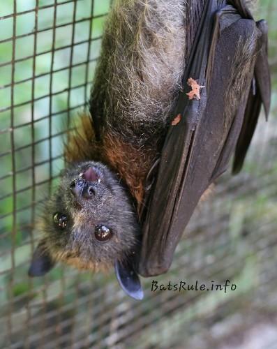 💕 PLEASE TAP THAT LIKE BUTTON N HELP SUPPORT ME 💕 #batsrule #megabat #babybat #bats #wildlife #wildlifephotography #batsofaustralia #batsofinstagram #batsarenotpets #vaccinatedandlicencedcarer #cute #followme #fledermaus 🐾 #lovethemorloosethem #notouchnorisk