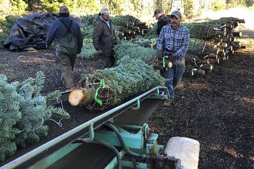 Crash shines light on immigrants in Christmas tree workforce