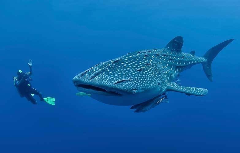 The best places to swim with whale sharks