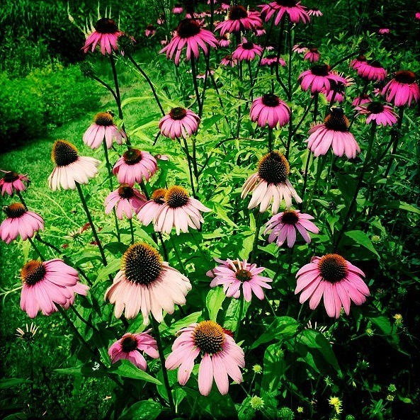 Black-Eyed Susans photograph. For purchases -