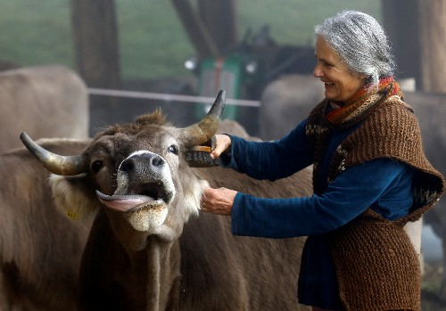 Cows with or without horns? Swiss to vote on Sunday